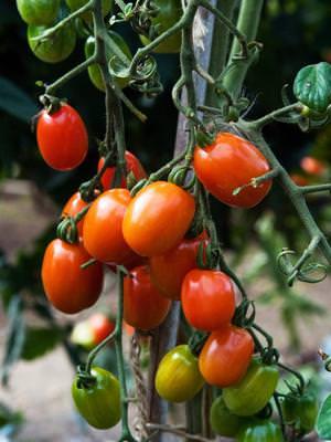 Как вырастить томат сорта рио гранде