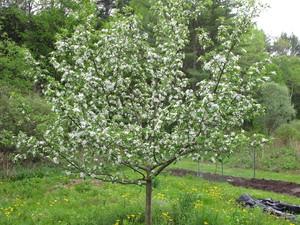 Дерево яблони медуница