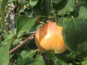 Урожайности сорт яблони