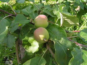 Как правильно ухаживать за яблоней