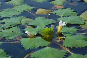 Плавающий водяной орех