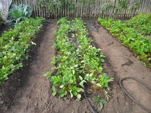 Как на грядках посадить клубнику