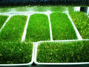 Как сеять растения сидераты