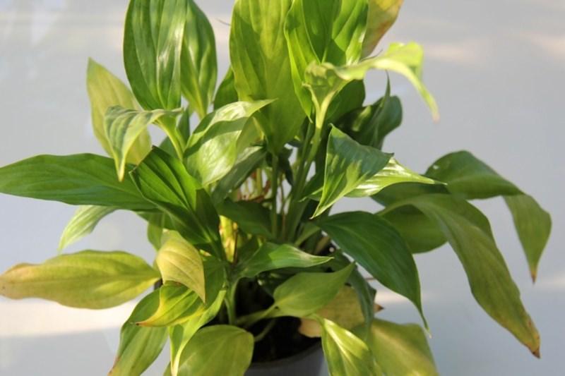 Причина по которой у спатифиллума желтеют листья