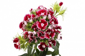 Dianthus диантус