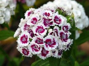 Диантус цветы