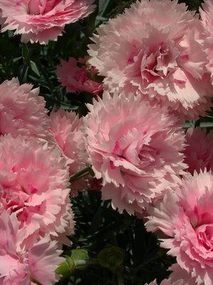 Цветок диантус