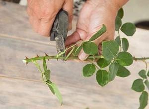Заготовка посадочного материала роз