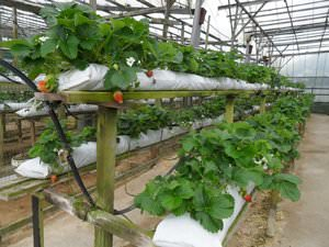 Тепличное выращивание клубники