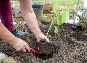 Подготовка почвы и посадка гортензии