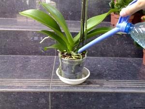 Как вырастить комнатную орхидею