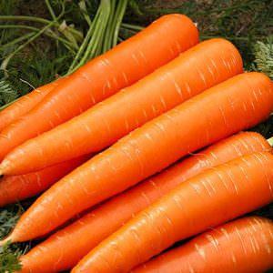 сорт моркови королева осени характеристика