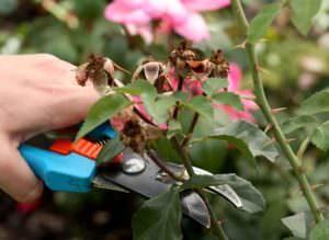Регулярная обрезка роз
