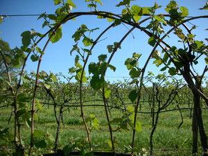 Как правильно высадить виноград