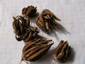 Клубни садового лютика