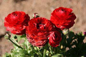 Сорта садового лютика