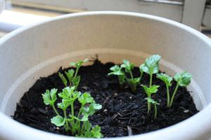 Проросли семена садового лютика