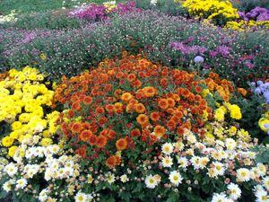 Цветы дубки хризантемы