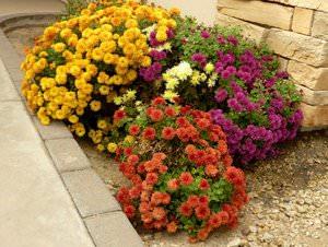 Дубки цветы, посадка осенью
