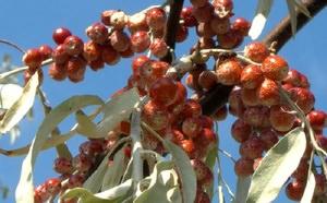Приготовление отвара из плодов лоха
