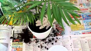 Особенности ухода за комнатной пальмой