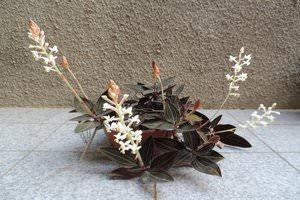 Лудизия орхидея