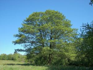 Где растет дерево ольха