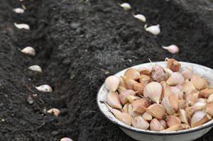 Как сажать чеснок осенью