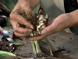 Когда надо выкопать луковицы гладиолусов