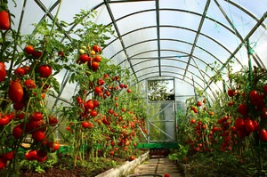 Что выгодно выращивать на продажу в теплице круглый год