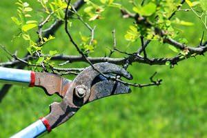 Как обрезать старые деревья