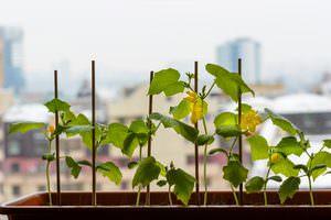 какие огурцы можно выращивать на подоконнике