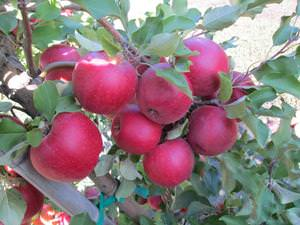 Сорт яблок чемпион уход