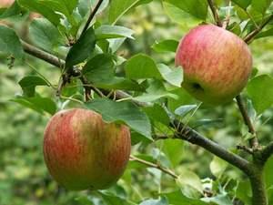 Яблоки чемпион урожай