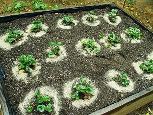 Какие удобрения вносить осенью под клубнику
