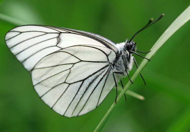 Бабочка капустница, или капустная белянка, фото и описание- как выглядит, сколько живет и что ест-