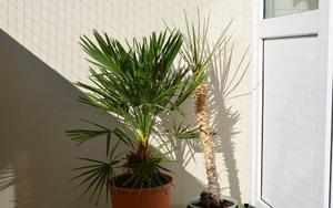 Хамеропс - Пальмы - Комнатные растения