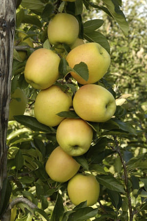 Описание сорта яблок