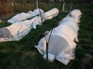 Как в Подмосковье подготовить виноград к зиме