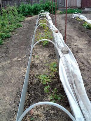 Как укрыть виноград на зиму в сибири