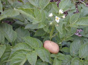 Овощные культуры-Картофель (Solanum tuberosa)