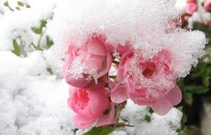 Как уберечь розы зимой в Сибири