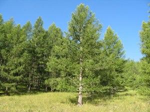 Светлохвойная Сибирская лиственница