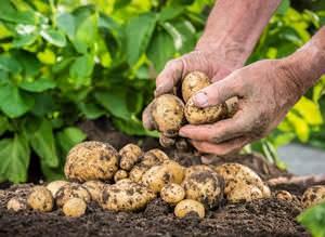 Как вырастить крупную картошку по новому методу