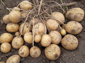 Картошка это овощ или корнеплод
