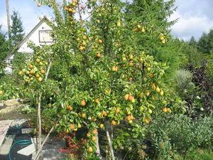 Выращивание груши в саду