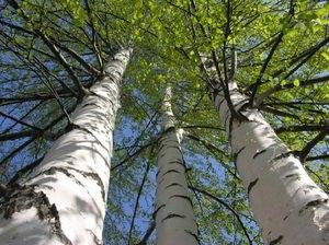 Как растет береза в природе
