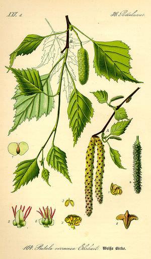 Полезные свойства листьев и коры березы
