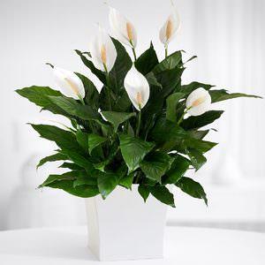 Комнатные цветы для женского счастья
