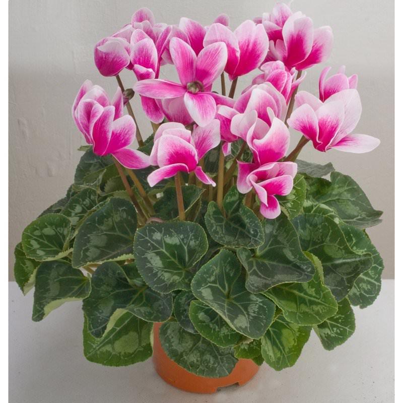 Самые распространенные виды растения для дома